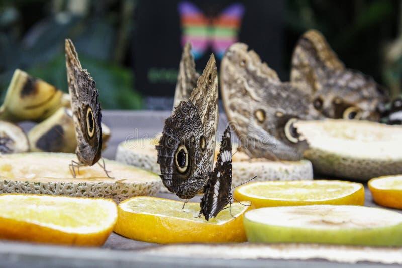 Γιγαντιαίες πεταλούδες κουκουβαγιών στοκ φωτογραφία με δικαίωμα ελεύθερης χρήσης