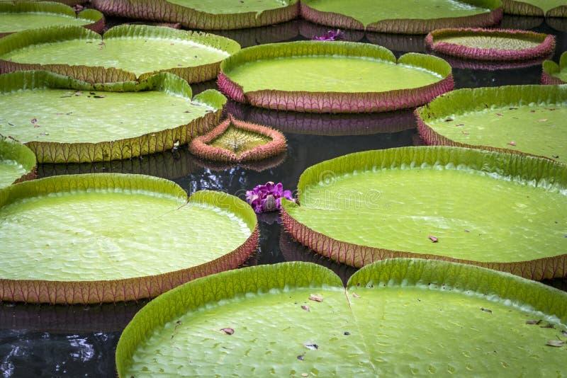 Γιγαντιαίοι κρίνοι Αμαζόνιος Βικτώρια νερού με τα λουλούδια σε έναν βοτανικό κήπο στοκ εικόνες με δικαίωμα ελεύθερης χρήσης