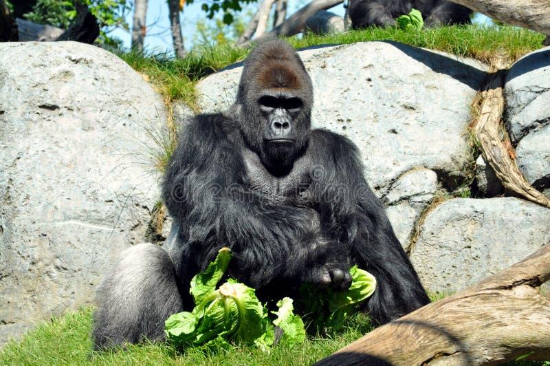 Γιγαντιαίος γορίλλας που έχει το μεσημεριανό γεύμα στο ζωολογικό κήπο του Σαν Ντιέγκο στοκ εικόνες