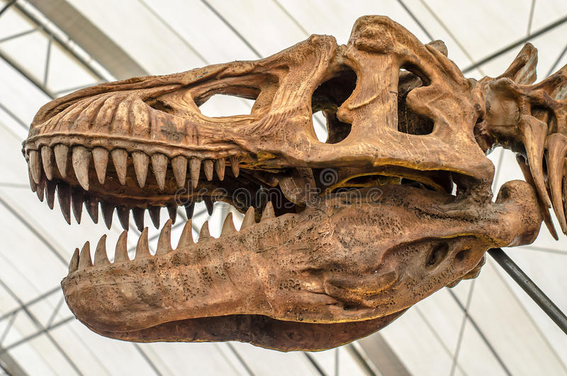 Γιγαντιαίος δεινόσαυρος ή σκελετός τ -τ-rex στοκ φωτογραφία με δικαίωμα ελεύθερης χρήσης