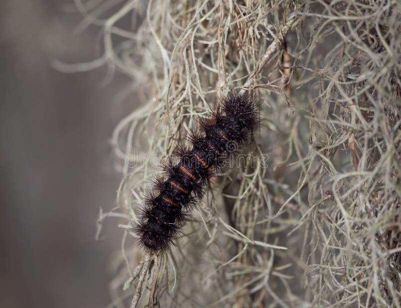 Γιγαντιαίος σκώρος Caterpillar λεοπαρδάλεων στοκ φωτογραφία με δικαίωμα ελεύθερης χρήσης