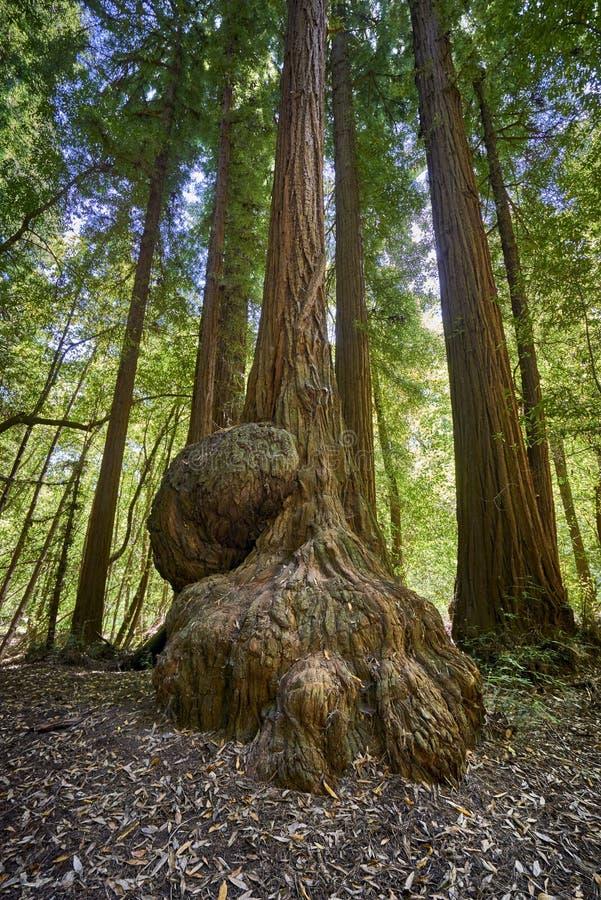 Γιγαντιαίο δέντρο redwood με τον κορμό νυχιών δράκων στοκ εικόνα