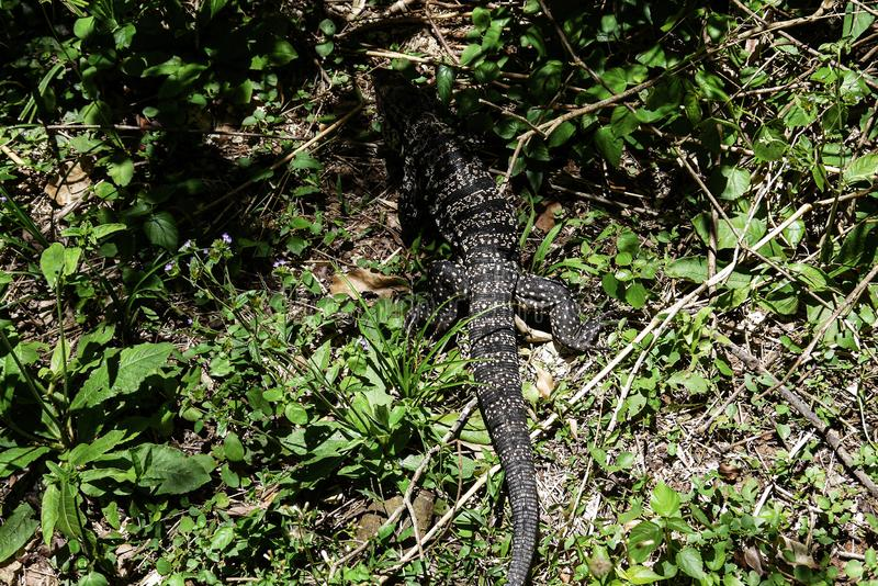 Γιγαντιαίο ερπετό οργάνων ελέγχου σαυρών που περπατά στη ζούγκλα στοκ εικόνα με δικαίωμα ελεύθερης χρήσης