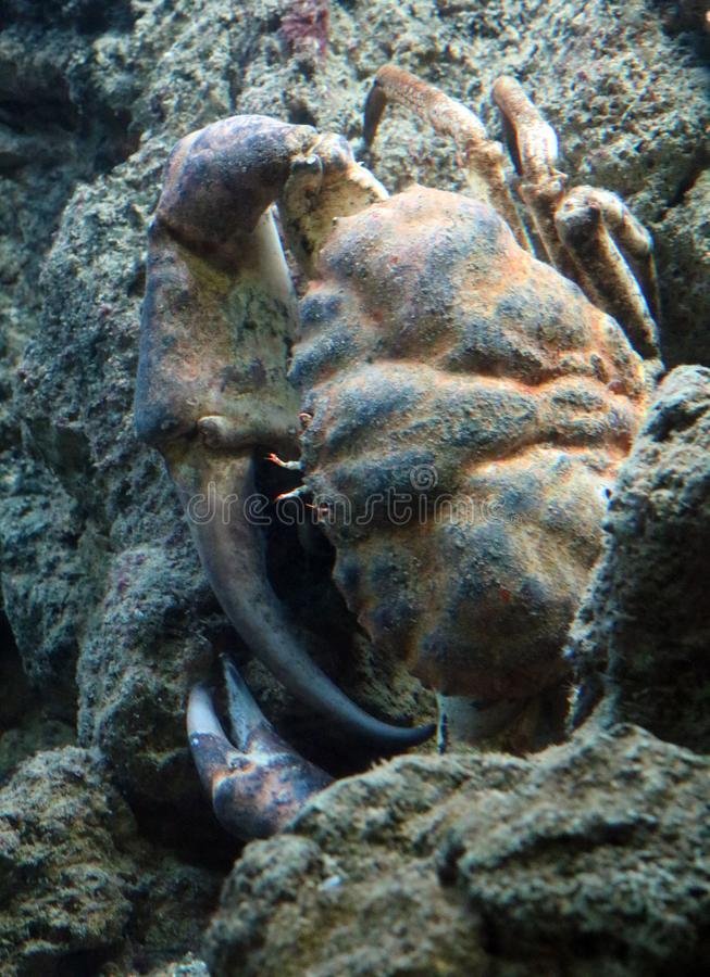 Γιγαντιαίο καφετί καβούρι στον ωκεανό, θαλασσινό νερό καρκινοειδές στοκ φωτογραφία με δικαίωμα ελεύθερης χρήσης