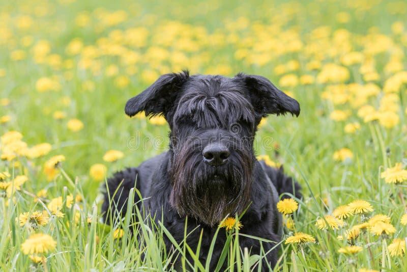 Γιγαντιαίο μαύρο σκυλί Schnauzer που βρίσκεται στο λιβάδι πικραλίδων στοκ εικόνες με δικαίωμα ελεύθερης χρήσης