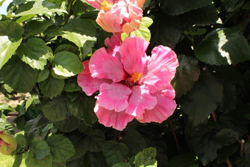 Γιγαντιαίο ροζ λουλουδιών στοκ εικόνες με δικαίωμα ελεύθερης χρήσης