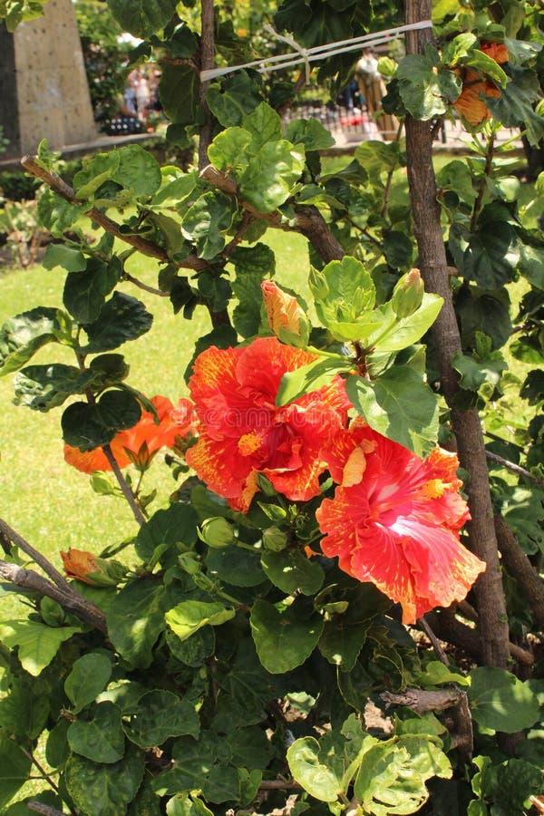 Γιγαντιαίο ροζ λουλουδιών στοκ φωτογραφία με δικαίωμα ελεύθερης χρήσης
