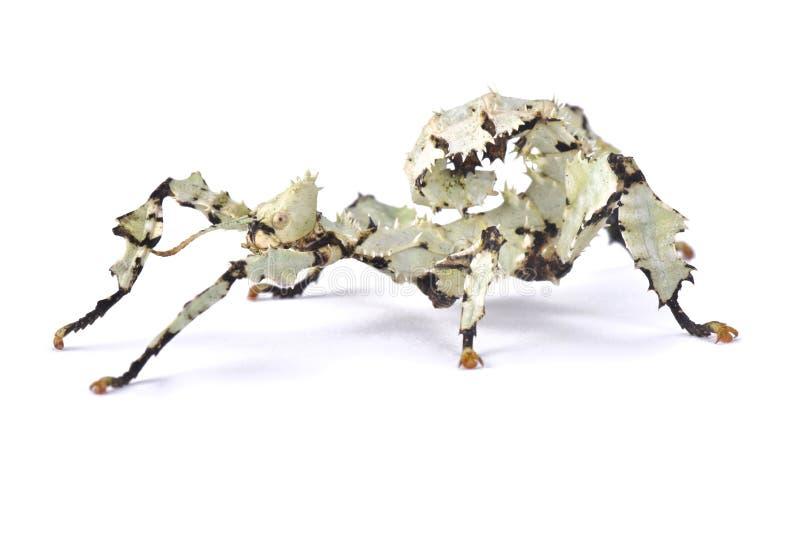 Γιγαντιαίο τραχύ έντομο ραβδιών, tiaratum Extatosoma στοκ φωτογραφίες με δικαίωμα ελεύθερης χρήσης