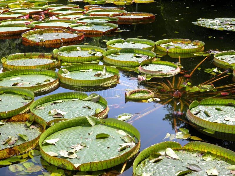 Γιγαντιαίο τροπικό φύλλο νερού στοκ εικόνες με δικαίωμα ελεύθερης χρήσης