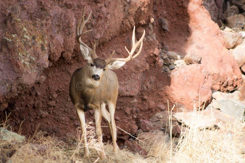 Γιγαντιαίο Buck μπροστά από έναν βράχο στοκ φωτογραφία