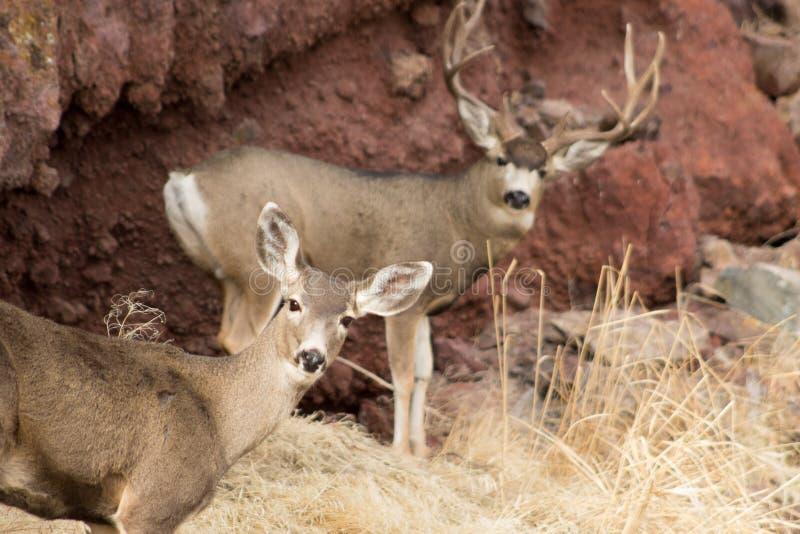 Γιγαντιαίο Buck μπροστά από έναν βράχο στοκ εικόνες με δικαίωμα ελεύθερης χρήσης
