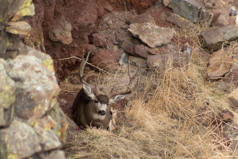 Γιγαντιαίο Buck μπροστά από έναν βράχο στοκ εικόνα με δικαίωμα ελεύθερης χρήσης