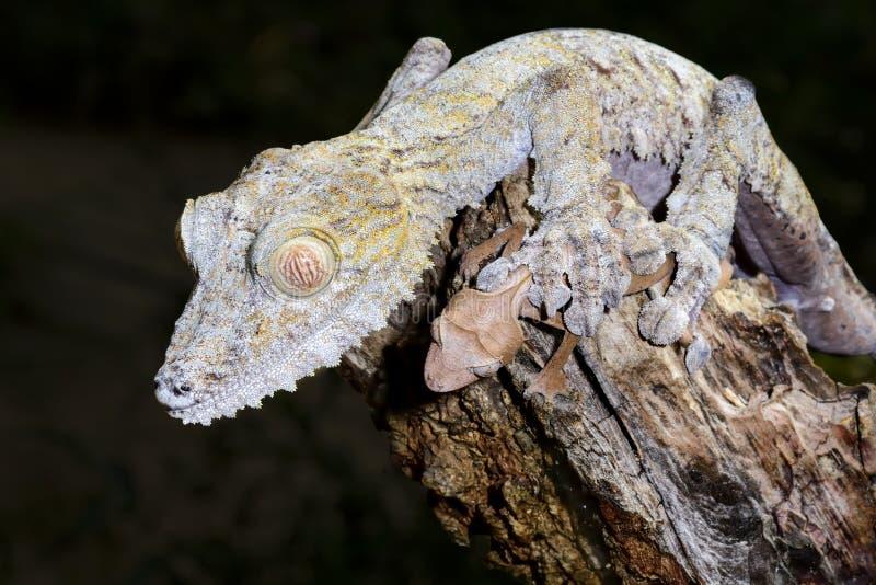 Γιγαντιαίο gecko φύλλο-ουρών στοκ εικόνα
