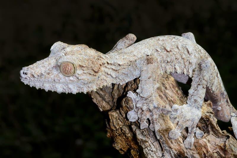 Γιγαντιαίο gecko φύλλο-ουρών, marozevo στοκ εικόνες