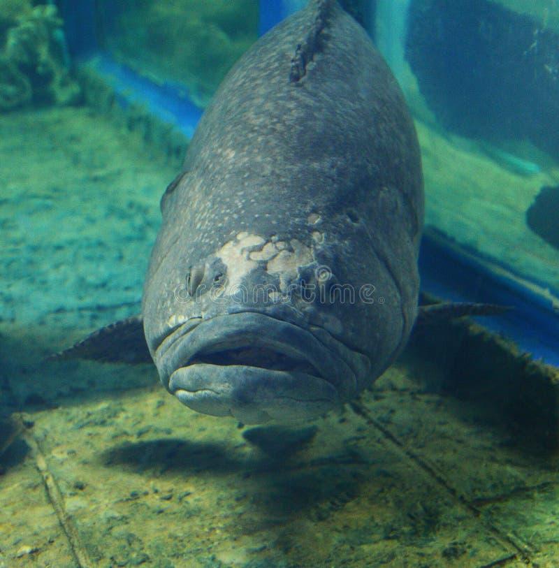 γιγαντιαίο grouper στοκ εικόνες με δικαίωμα ελεύθερης χρήσης