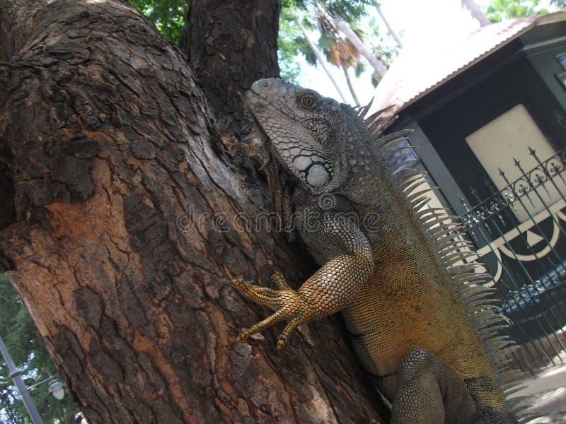 Γιγαντιαίο iguana σε ένα πάρκο στο Guayaquil, που αναρριχείται σε ένα δέντρο στοκ εικόνα με δικαίωμα ελεύθερης χρήσης