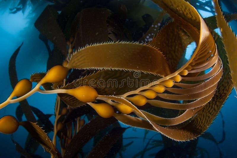 Γιγαντιαίο Kelp σε Καλιφόρνια στοκ εικόνα
