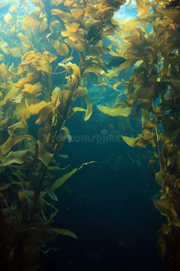 γιγαντιαίο kelp στοκ φωτογραφία