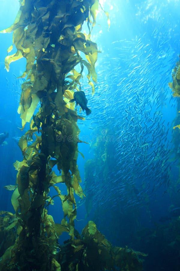 γιγαντιαίο kelp στοκ εικόνα