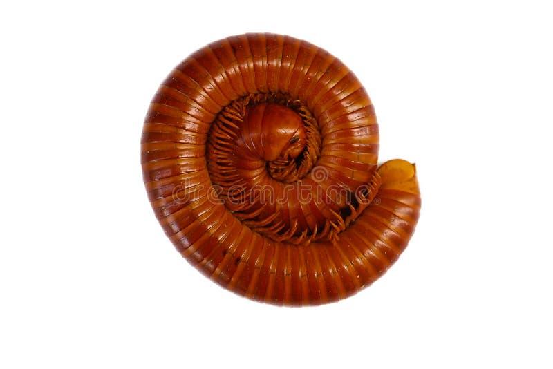 Γιγαντιαίο millipede στοκ εικόνες