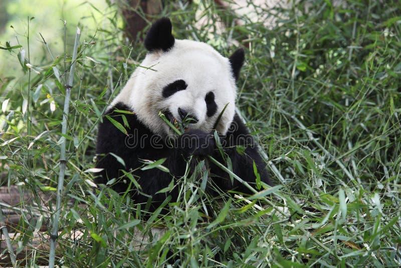 γιγαντιαίο panda