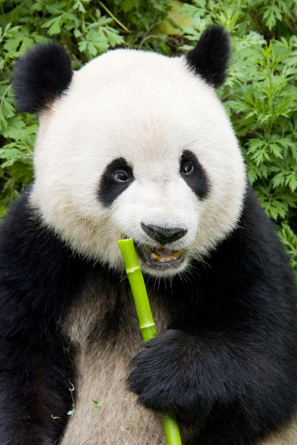 γιγαντιαίο panda στοκ εικόνες