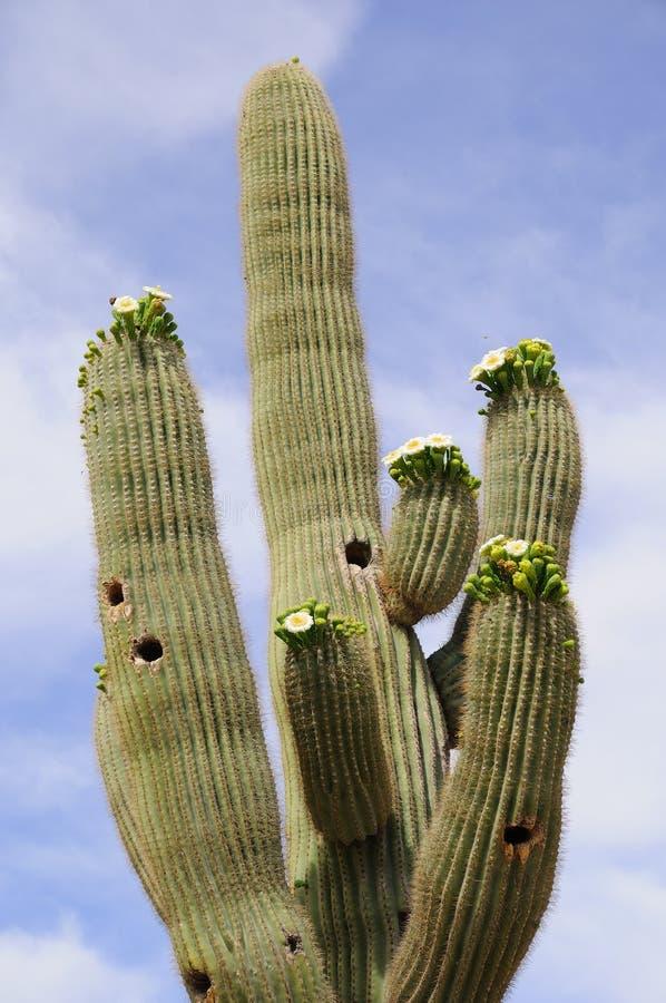 γιγαντιαίο saguaro κάκτων άνθιση στοκ εικόνες