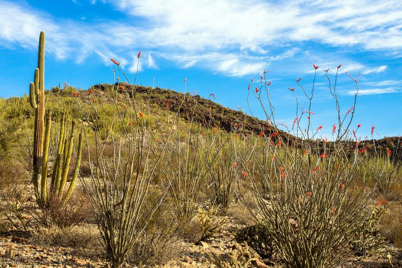 Γιγαντιαίο Saguaros και ανθίζοντας κάκτοι Ocotillo μέσα στο εθνικό μνημείο κάκτων σωλήνων οργάνων στοκ εικόνες με δικαίωμα ελεύθερης χρήσης
