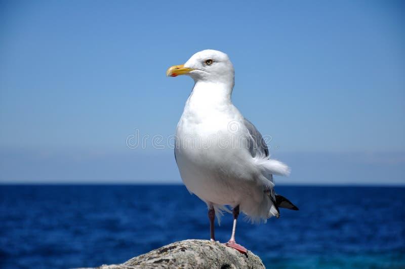 Γιγαντιαίο Seagull στοκ φωτογραφία με δικαίωμα ελεύθερης χρήσης