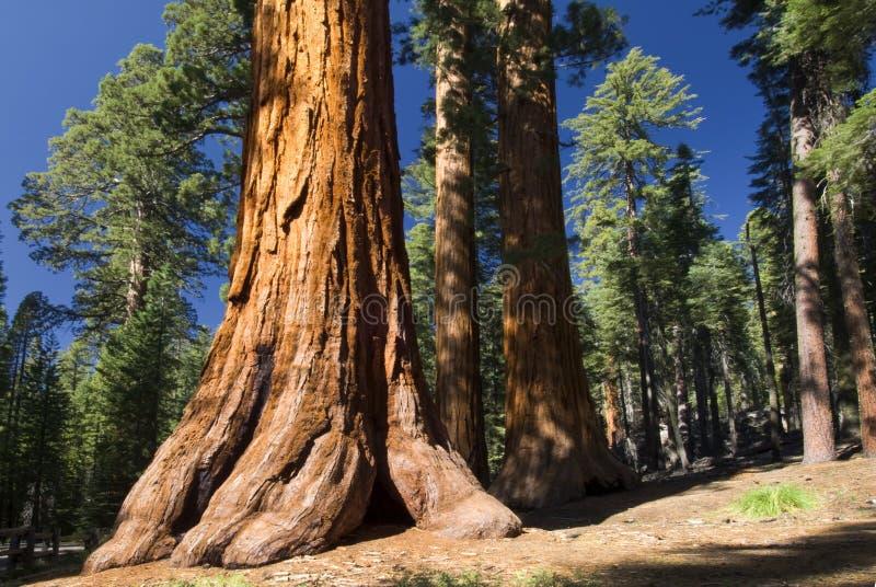 Γιγαντιαίο Sequoia δέντρο, άλσος Mariposa, εθνικό πάρκο Yosemite, Καλιφόρνια, ΗΠΑ στοκ φωτογραφία με δικαίωμα ελεύθερης χρήσης