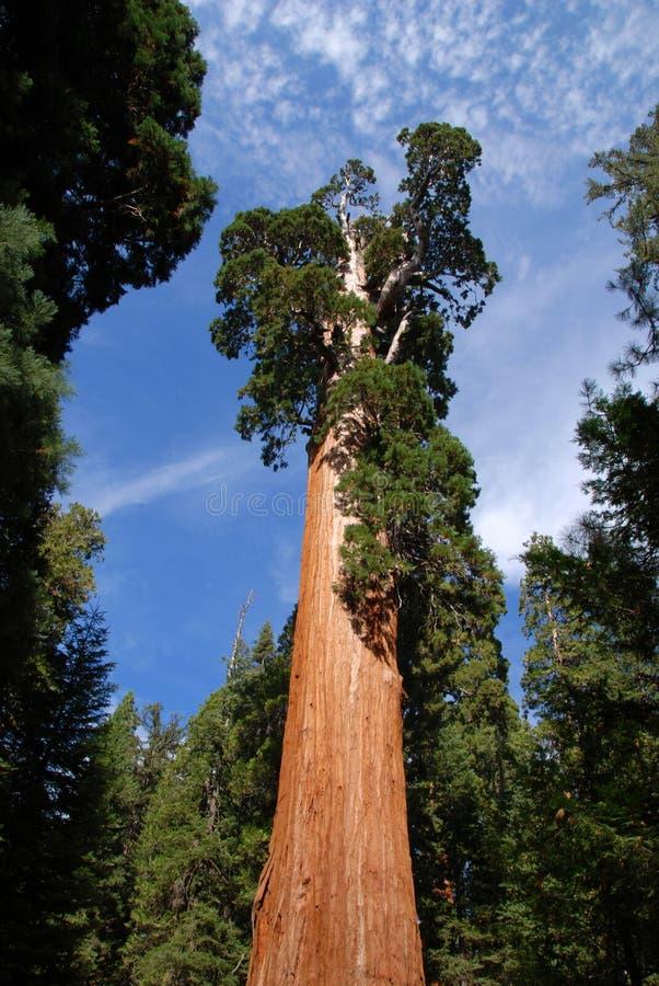 Γιγαντιαίο Sequoia δέντρο στοκ εικόνες