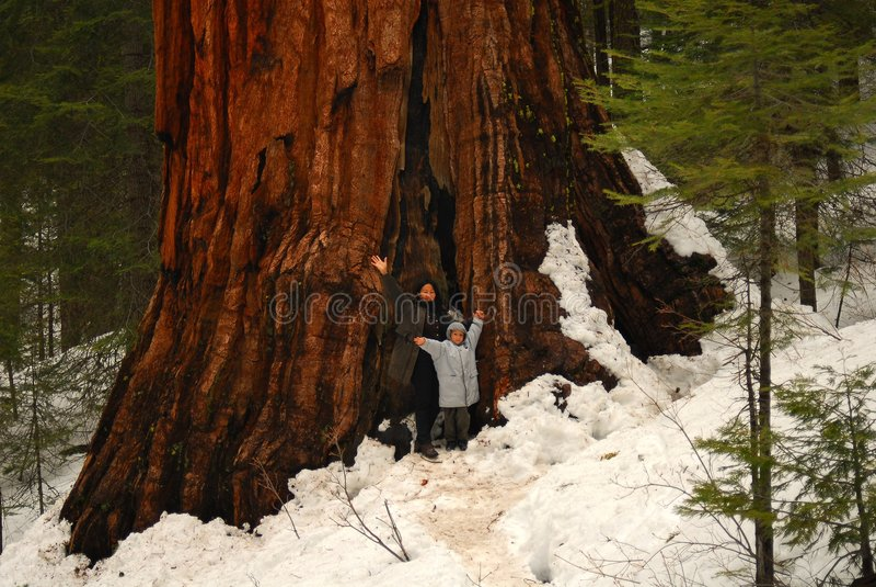 γιγαντιαίο sequoia δύο στοκ φωτογραφία με δικαίωμα ελεύθερης χρήσης