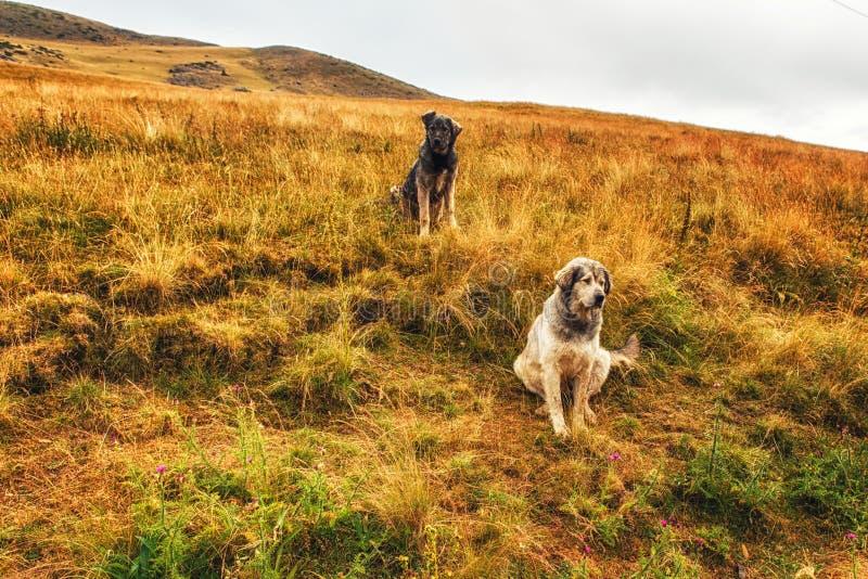 2 γιουγκοσλαβικά σκυλιά sheperd στην επαρχία στοκ φωτογραφία με δικαίωμα ελεύθερης χρήσης