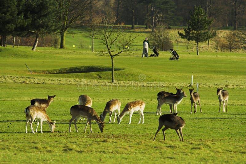 γκολφ πεδίων deers στοκ φωτογραφία με δικαίωμα ελεύθερης χρήσης