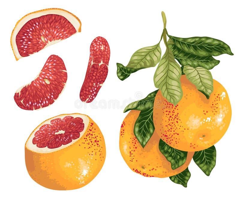Γκρέιπφρουτ που τίθεται με τα φρούτα στον κλάδο και τις φέτες σε ρεαλιστικό ελεύθερη απεικόνιση δικαιώματος