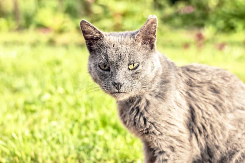 Γκρίζα άστεγη γάτα στοκ εικόνες