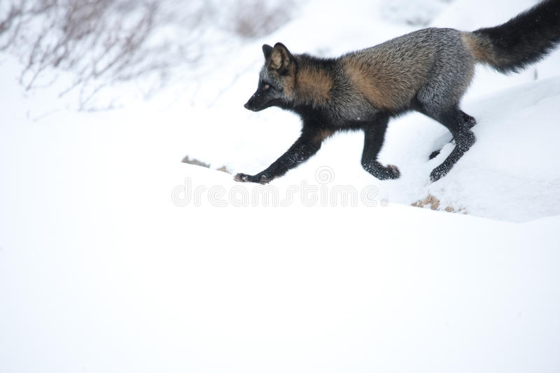 Γκρίζα αλεπού στοκ φωτογραφίες με δικαίωμα ελεύθερης χρήσης