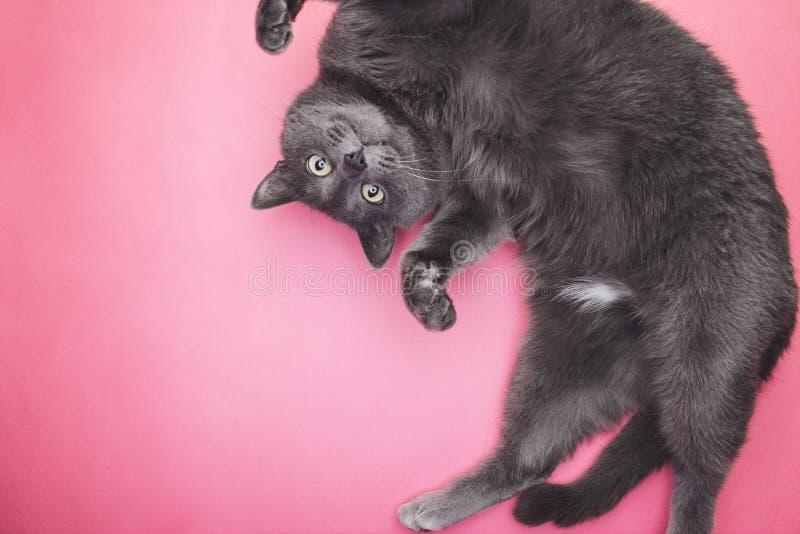 Γκρίζα αστεία τοποθέτηση γατών στοκ φωτογραφία με δικαίωμα ελεύθερης χρήσης