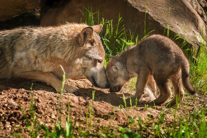 Γκρίζα αφή μητέρων και κουταβιών λύκων (Λύκος Canis) έξω από το κρησφύγετο στοκ εικόνες