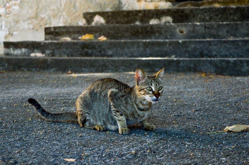 Γκρίζα γάτα οδών έτοιμη να κυνηγήσει