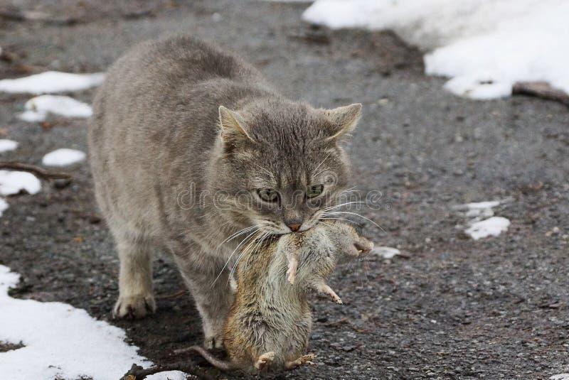 Γκρίζα γάτα που κρατά έναν μεγάλο γκρίζο αρουραίο στο στόμα που στέκεται στο δρόμο στο χιόνι στοκ φωτογραφίες