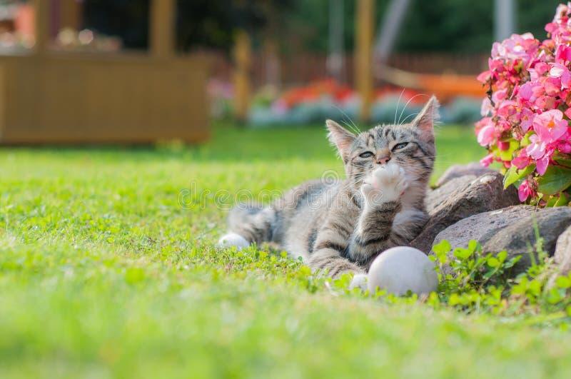 Γκρίζα γάτα που παίζει με τη σφαίρα στη χλόη και τα γλειψίματα το πόδι στοκ εικόνα