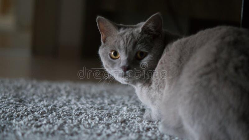 Γκρίζα γάτα που φαίνεται κάμερα στοκ εικόνα με δικαίωμα ελεύθερης χρήσης