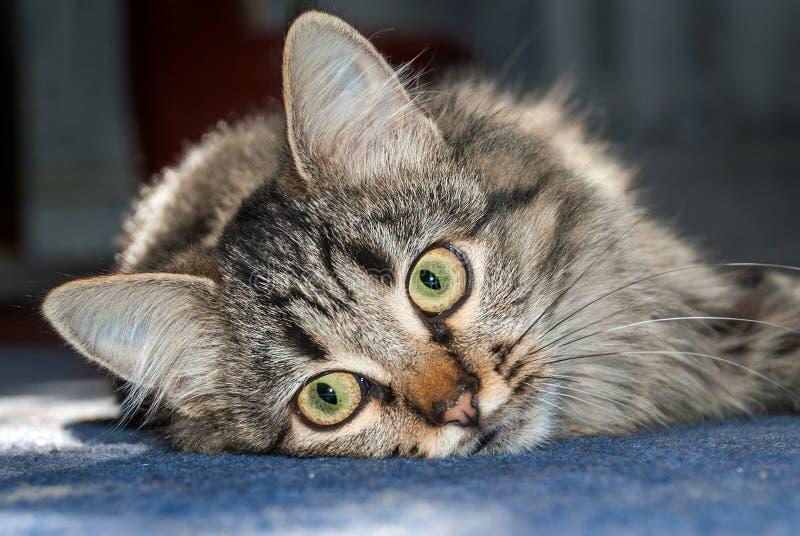 Γκρίζα γάτα σε ένα μπλε πάτωμα στοκ φωτογραφία