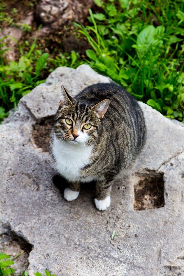 Γκρίζα γάτα στα ruines στις αρχαίες γάτες της Ρώμης στοκ εικόνα με δικαίωμα ελεύθερης χρήσης