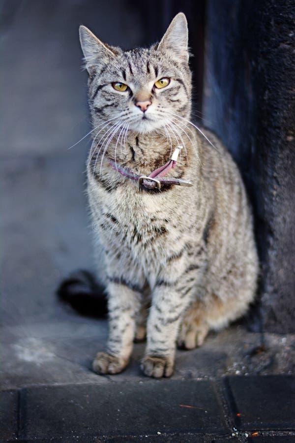 Γκρίζα γάτα στην οδό στοκ φωτογραφία με δικαίωμα ελεύθερης χρήσης