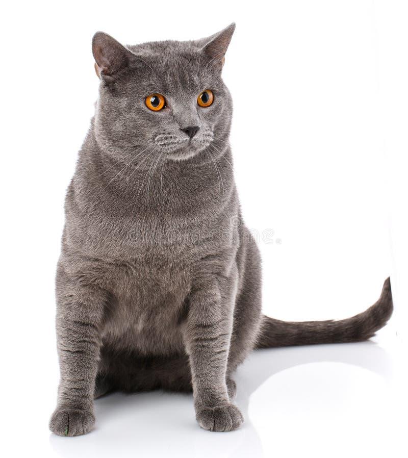Γκρίζα γάτα Chartreux με τα κίτρινα μάτια στοκ φωτογραφίες με δικαίωμα ελεύθερης χρήσης