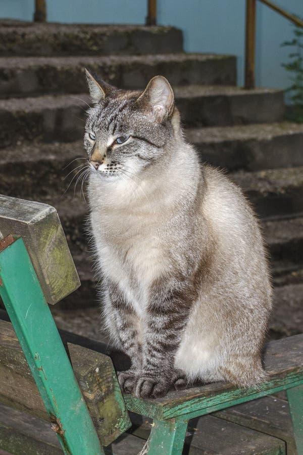 Γκρίζα και άσπρη σοκολάτας γάτα γατακιών σημείου σιαμέζα τιγρέ στοκ φωτογραφίες