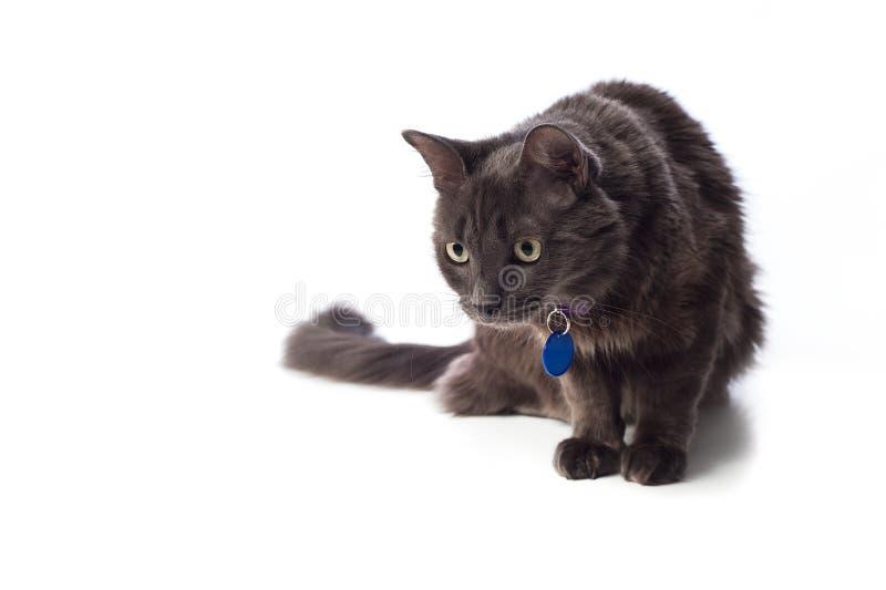 Γκρίζα καταδίωξη γατών Nebelung στοκ εικόνα