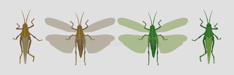 Γκρίζα καφετιά ακρίδα και πράσινα grasshopper κλειστό και ανοικτών φτερά απεικόνιση αποθεμάτων